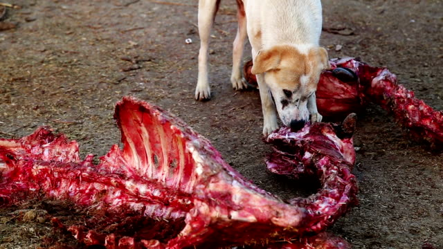 dogs eating dead animal - female animal stock videos & royalty-free footage
