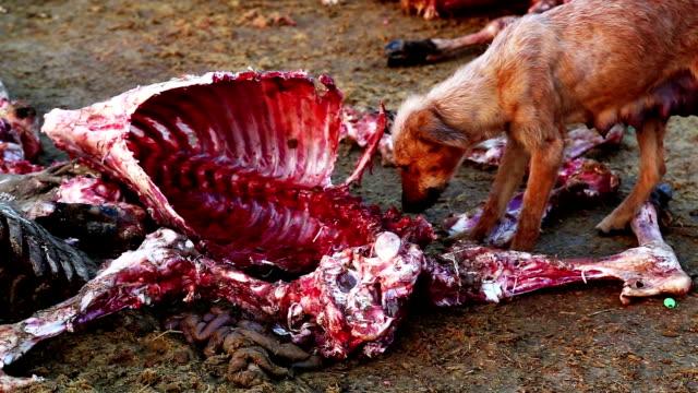 hunde essen totes tier - tierisches skelett stock-videos und b-roll-filmmaterial