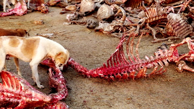 dogs eating dead animal - bovino video stock e b–roll