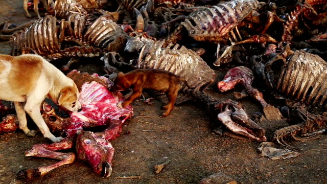 dogs eating dead animal - cattle stock videos & royalty-free footage