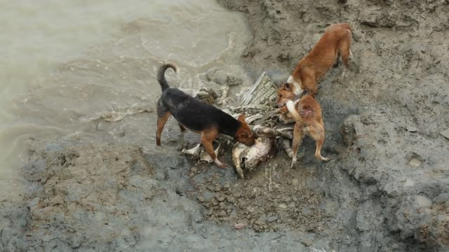 dogs eating dead buffalo that died sort of freshwater in coastal area in bangladesh, on august 14, 2017. bangladesh, a country which is ranked as one... - danger stock videos & royalty-free footage