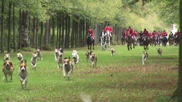 ws dogs following by horsemen at hunt / munich, bavaria, germany - djur som jagar bildbanksvideor och videomaterial från bakom kulisserna
