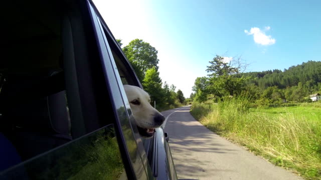 dog's head out the window - golden retriever stock videos and b-roll footage