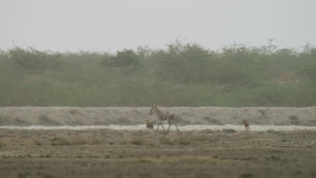 dogs herd khur stallion, india. - stallion stock videos & royalty-free footage