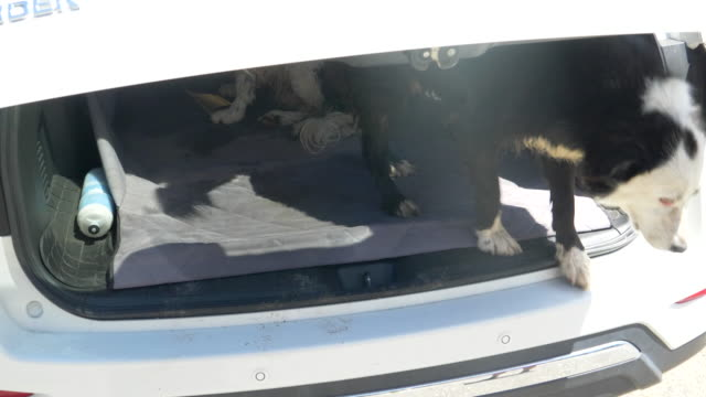 Dogs in the back of an SUV car after running and walking on a trail. - Slow Motion