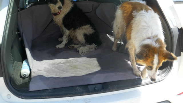 Dogs in the back of an SUV car after running and walking on a trail.