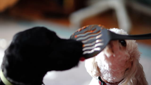 Dogs licking pate from spatula