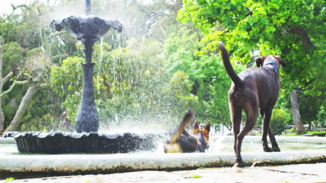 dogs love the park - standing water stock videos & royalty-free footage