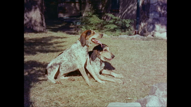 MS PAN Dogs on lawn, jump into back of station wagon, man dressed in hunting gear closes door / United States