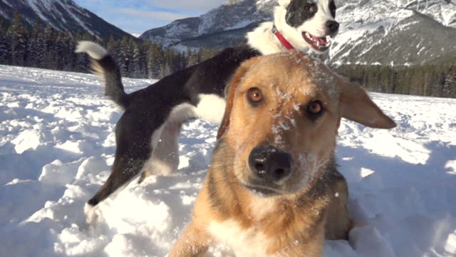 vídeos de stock, filmes e b-roll de dogs play in the snow in a mountain environment - alberta