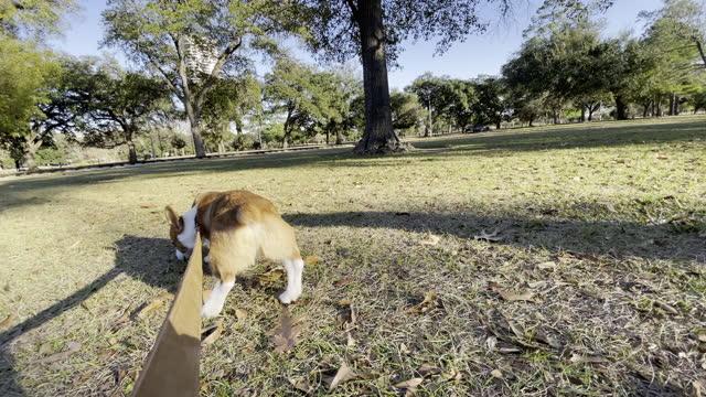 vídeos y material grabado en eventos de stock de dogs playing and going for a walk on july 01, 2021 in houston, texas. - pembroke