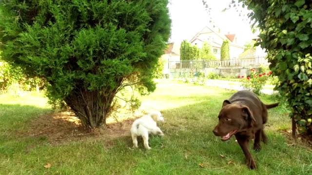 dogs playing. slow motion - two animals stock videos & royalty-free footage