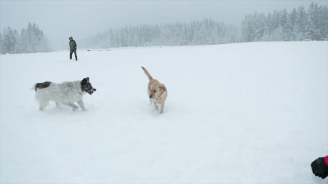 dogs playing snow in the dog park - off leash dog park stock videos & royalty-free footage