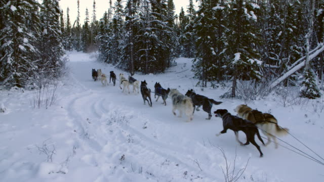 vidéos et rushes de dogs pulling dogsled in yellowknife, northern canada - conifère