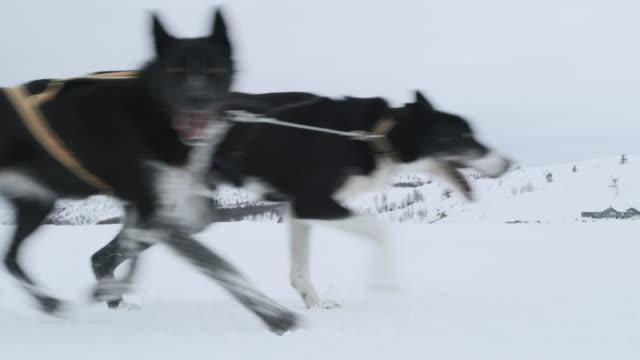vidéos et rushes de chiens de la traction des gens assis sur un traîneau - chien de traîneau