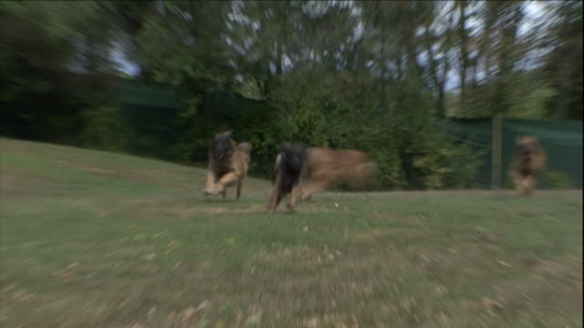 dogs run through a large, fenced enclosure. - enclosure stock videos & royalty-free footage