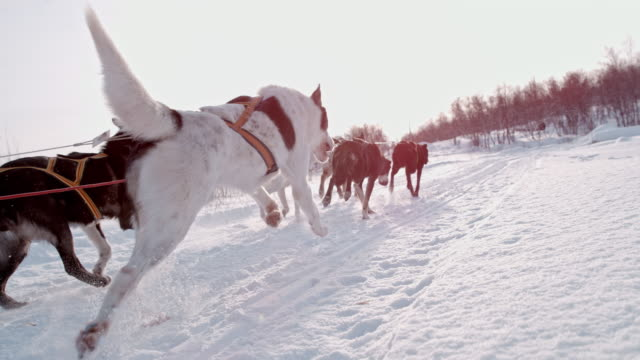 SLO MO Dogs sledding through the snow