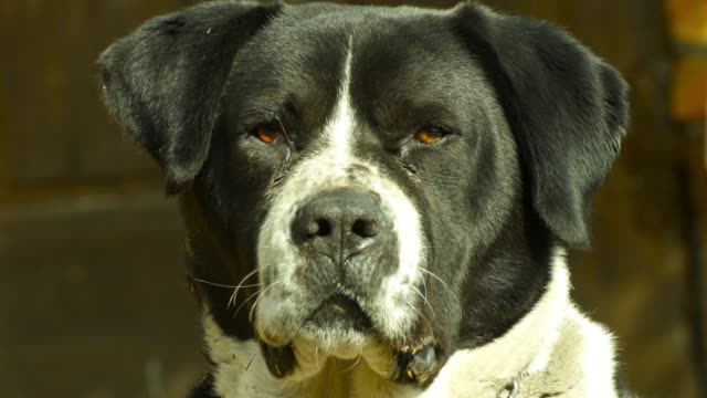 vídeos de stock e filmes b-roll de dog's threatening look - agressão