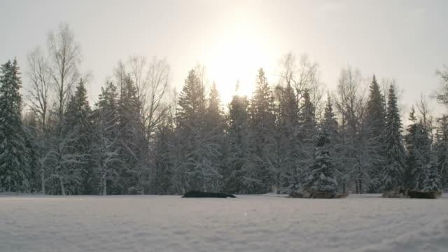 Dogsledding against beautiful woodland scenery