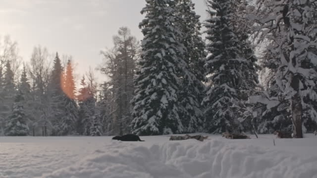 Dogsledding in beautiful winter evening