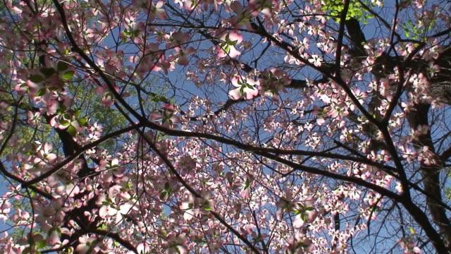 vídeos de stock e filmes b-roll de cornus flores - cornus