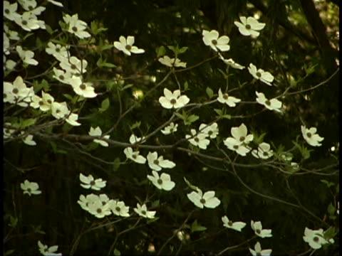 vídeos de stock e filmes b-roll de dogwood blossoms - cornus