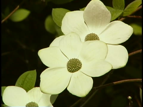 dogwood blossoms - dogwood stock videos & royalty-free footage