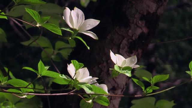 vídeos de stock e filmes b-roll de dogwood tree in bloom, closeup, yosemite national park, california - cornus