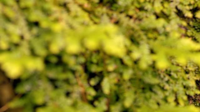 dolly :autumn カンゾウの木に根 - 木を抱く点の映像素材/bロール