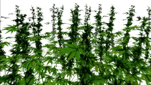 dolly back diagonally from single marijuana plant revealing many - canapa video stock e b–roll