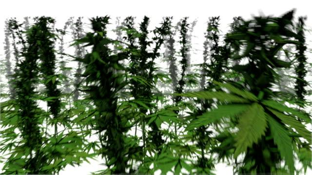 Dolly back revealing many Marijuana Plants