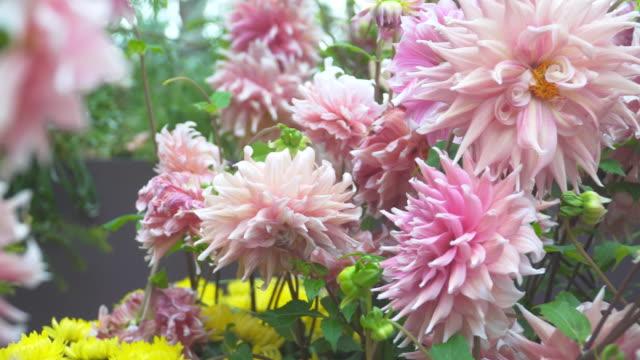 ドリー: 大きなピンクのバラ ダリア園 - ダリア点の映像素材/bロール