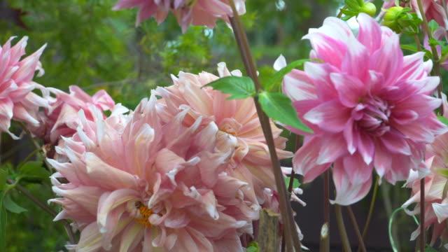 Dolly: grote bloesem roze-rosed Dahlia's flower hoofd