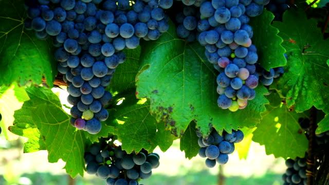 hd :dolly ブルーのブドウ園 - ブドウ点の映像素材/bロール