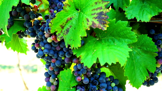 HD Dolly: Blue Grapes In Vineyard