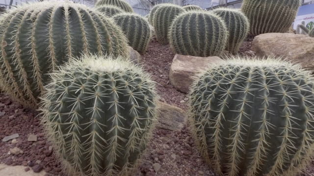 dolly cactus - cactus video stock e b–roll