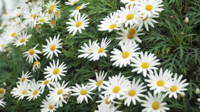 dolly: Daises flowers as bush