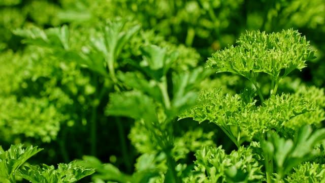 Dolly: fresh parsley in the garden