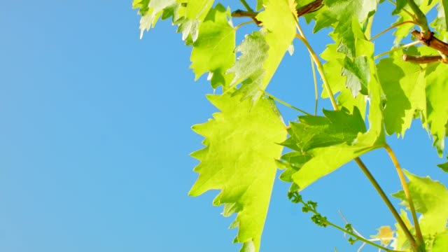 Dolly: grape leaf on blue sky background