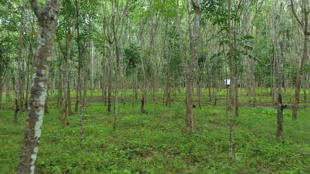 dolly out of rubber plantation - named wilderness area stock videos & royalty-free footage