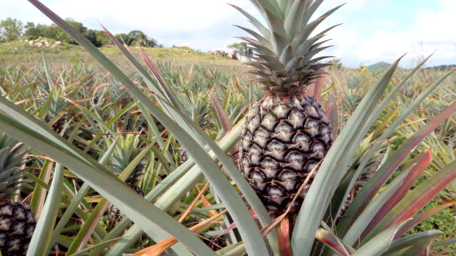 4k dolly: pineapple - pineapple stock videos & royalty-free footage