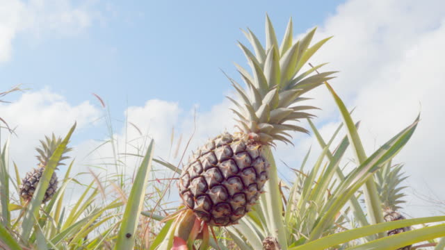 4k dolly: pineapple - pinaceae stock videos & royalty-free footage