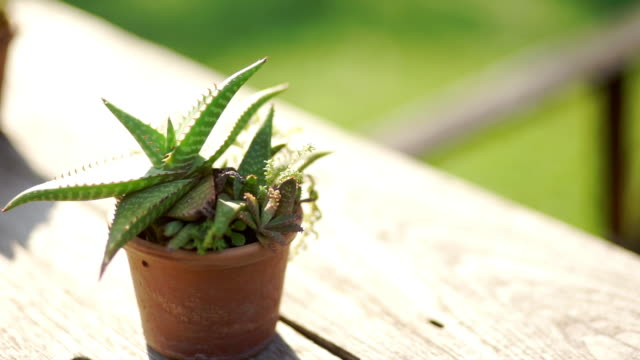 CU Dolly right Camera of Little dotted succulent plant in a pot on the wooden table outdoors.