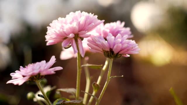 dolly shot - chrysanthemum flowerbed in nature - chrysanthemum stock videos & royalty-free footage