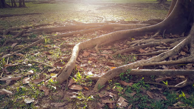 vídeos y material grabado en eventos de stock de dolly tiro hd: rayos de sol en raíz al comienzo de la vieja y gran árbol - raíz