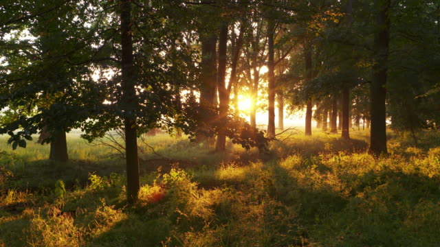 Dolly Shot. Light beams (sunbeams) of sunrise in forest. Bavaria, Germany.