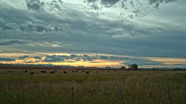 dolly shot of a herd of cows grazing at sunset - grazing stock videos & royalty-free footage