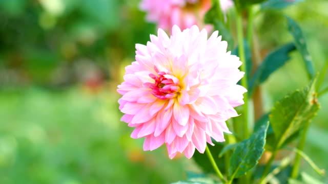 Dolly schot van Bloom roze Dahlia bloem in veld