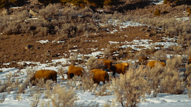 Dolly shot of buffalo herd grazing in Lamar Valley in winter. Wide shot. Color Graded and RAW file.