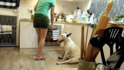 Dolly shot of bull terrier dog waiting woman cooking a food